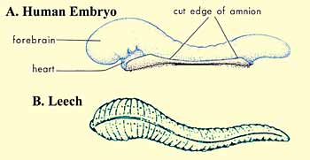 Fiqh on Embryology